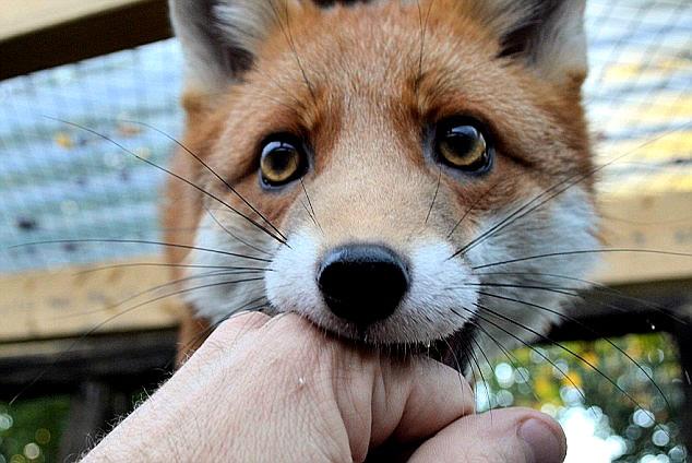 fox_1a